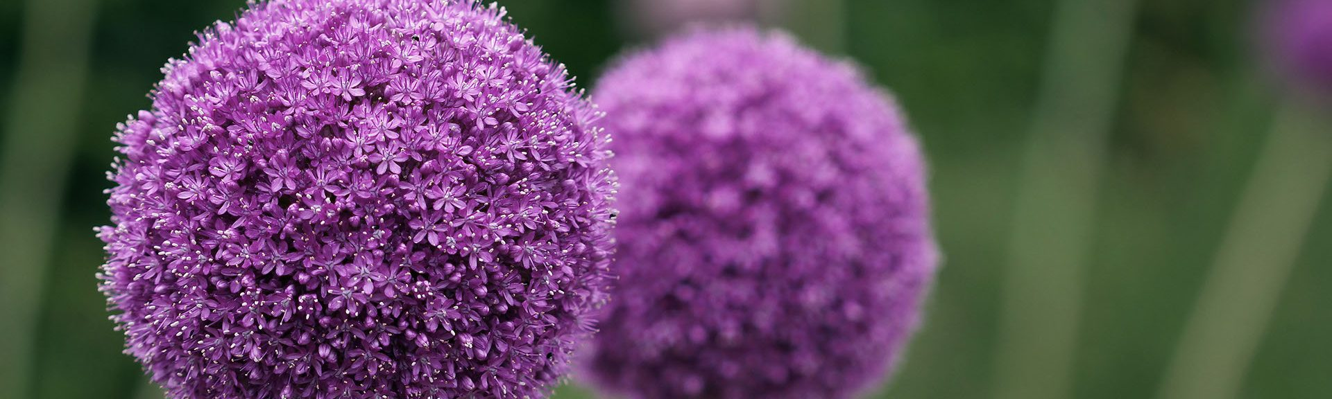 Couple of the allium purple flowers growing in the garden